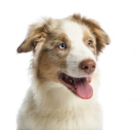Close-up of an Australian shepherd puppy, 4 months old, against white background