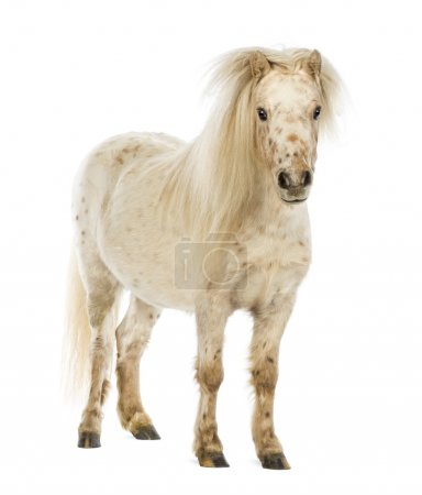 Shetland with front mane over its ears in front of white background