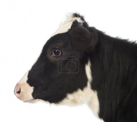 Close-up of a Veal, 8 months old, in front of white background