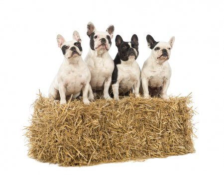 Photo pour Bulldogs français assis sur une balle de paille devant fond blanc - image libre de droit