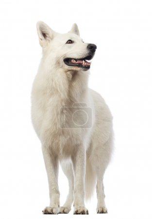 Swiss Shepherd dog, 5 years old, looking up in front of white background