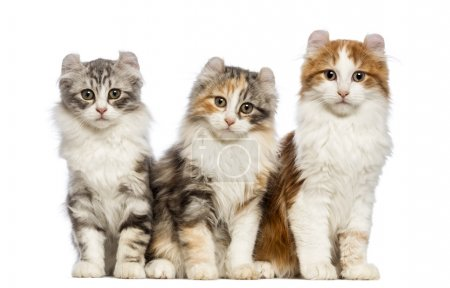 Three American Curl kittens, 3 months old, sitting and looking at the camera in front of white background