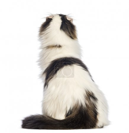 Rear view of an American Curl sitting and looking up in front of white background