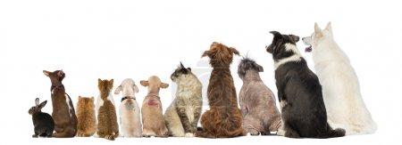 Photo pour Vue arrière d'un groupe d'animaux domestiques, Chiens, chats, lapins, assis, isolés sur blanc - image libre de droit