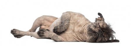 Hairless Mixed-breed dog, mix between a French bulldog and a Chinese crested dog, lying on the side in front of white background