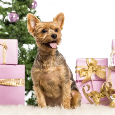 Yorkshire Terrier sitting in front of Christmas decorations against white background