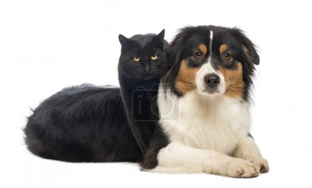 Black Cat standing over an Australian Shepherd lying, isolated o
