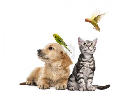 Photo pour Chiot Golden retriever (7 semaines) se trouvant au perroquet perché sur sa tête à côté de chaton British Shorthair assis avec un fkying de parekeet, isolé sur blanc - image libre de droit