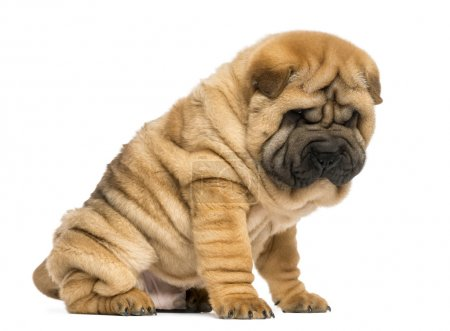 Shar pei puppy sitting looking down (11 weeks old) isolated on