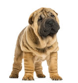 Front view of Shar pei puppy looking away (11 weeks old) isolate