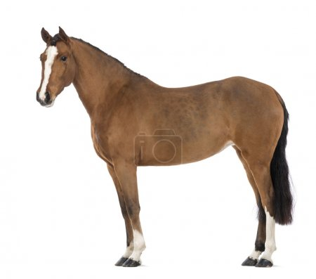 Side view of a Female Andalusian, 3 years old, also known as the Pure Spanish Horse or PRE against white background