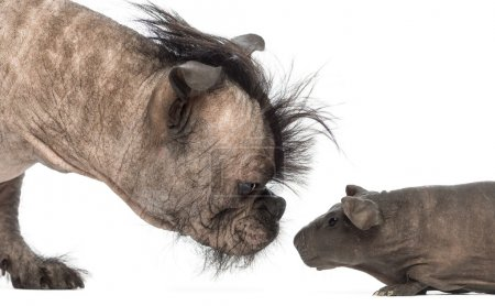 Close-up of a Hairless Mixed-breed dog, mix between a French bulldog and a Chinese crested dog, sniffing a hairless guinea pig in front of white background