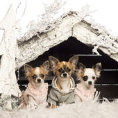 Chihuahuas dressed and sitting in front of Christmas nativity scene with Christmas tree and snow against white background