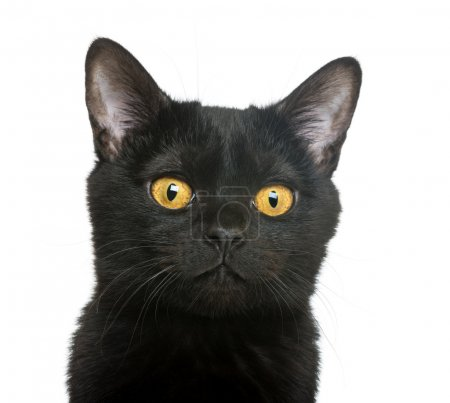 Close-up of a Bombay kitten, isolated on white