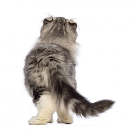 Rear view of an American Curl kitten, 3 months old, looking up in front of white background