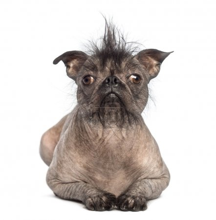 Front view of a Hairless Mixed-breed dog, mix between a French bulldog and a Chinese crested dog, lying and looking at the camera in front of white background