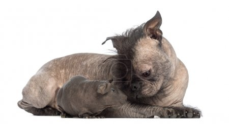 Hairless Mixed-breed dog, mix between a French bulldog and a Chinese crested dog, lying with a hairless guinea pig and looking at it in front of white background