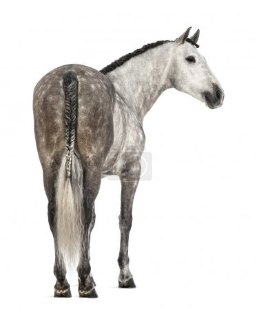Rear view of an Andalusian, 7 years old, looking right, also known as the Pure Spanish Horse or PRE against white background