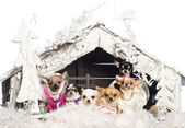 Chihuahuas sitting and dressed in front of Christmas nativity scene with Christmas tree and snow against white background