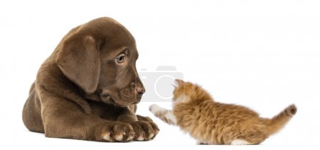 Labrador Retriever Puppy lying and looking at a playful ginger k