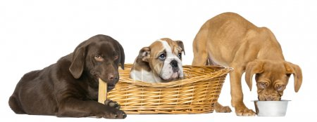 Dogue de Bordeaux eating from a dog bowl, English Bulldog in wicwicker basket and Labrador Retriever chewing a dog bone, isolated on white
