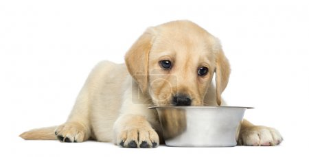 Labrador Retriever Puppy, 2 months old, lying down with metallic