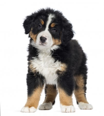 Bernese Mountain Dog Puppy, 2 months old, standing, isolated on