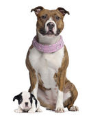 American Staffordshire terrier with pink bandana and French Bull