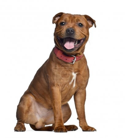Staffordshire Bull Terrier, 9 months old with red collar, isolat