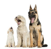 Group of dogs yawning, isolated on white