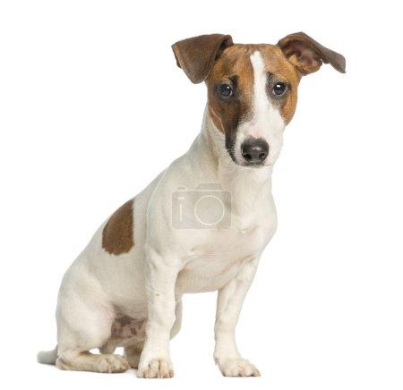 Photo pour Jack terrier russell, assis et regardant la caméra, isolée sur blanc - image libre de droit