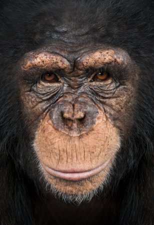 Photo pour Gros plan d'un chimpanzé en regardant la caméra, pan troglodytes - image libre de droit