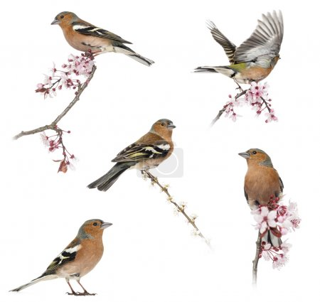 Collection of Common Chaffinch perched on a branch -Fringilla co