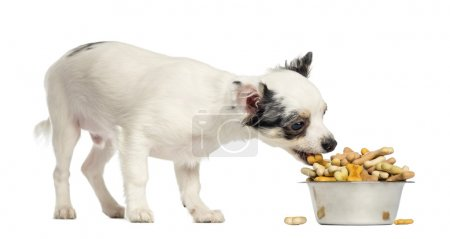 Chihuahua puppy eating dog biscuits from a bowl, isolated on whi