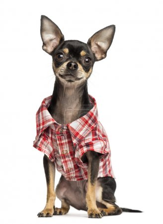 Photo for Chihuahua wearing a check shirt, 18 months old, isolated on white - Royalty Free Image