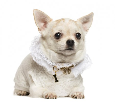 Chihuahua lying, wearing a lace shirt and fancy dog collar, isol