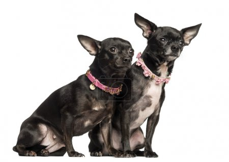 Two Chihuahuas sitting, wearing fancy collar, 3 years and 2 mont