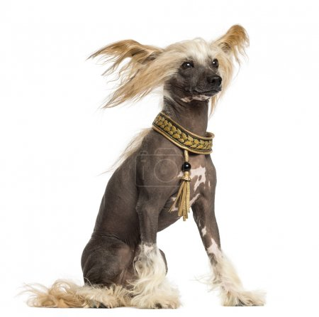 Side view of a Chinese Crested Dog sitting, 3 years old, isolate
