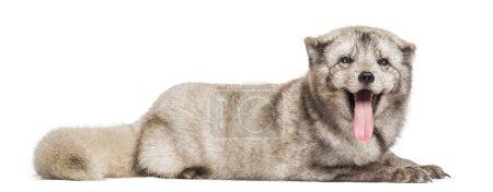 Arctic fox, Vulpes lagopus, also known as the white fox, polar f