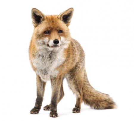 Photo pour Le renard roux, vulpes vulpes, debout, isolé sur blanc - image libre de droit