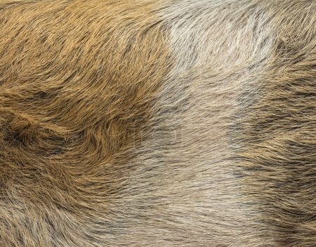 Close-up of a domestic pig's skin