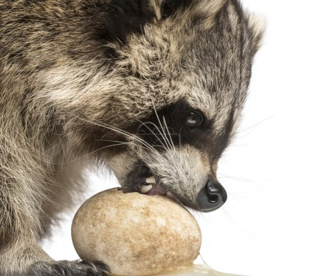 Close-up of a Racoon, Procyon Iotor, eating an egg, isolated on