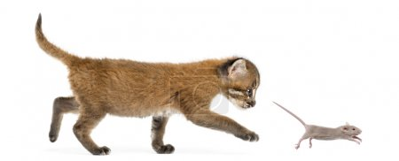 Side view of an Asian golden cat chasing a young mouse, isolated