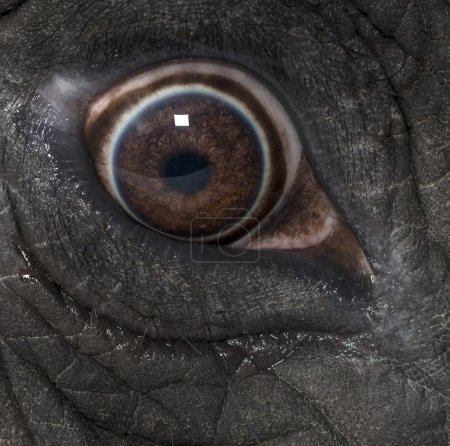 Macro of an African elephant's eye