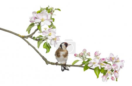 European Goldfinch, carduelis carduelis, perched on a flowering