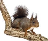 Red squirrel or Eurasian red squirrel, Sciurus vulgaris, standin