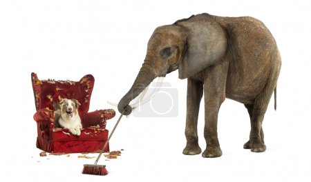 Photo for African elephant sweeping after a dog messed up an armchair, isolated on white - Royalty Free Image