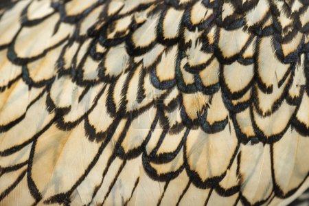 Foto de Macro de una pluma de gallo Sebright bantam - Imagen libre de derechos