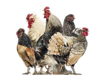 Foto de Grupo de gallinas y gallos, aislados sobre blanco - Imagen libre de derechos
