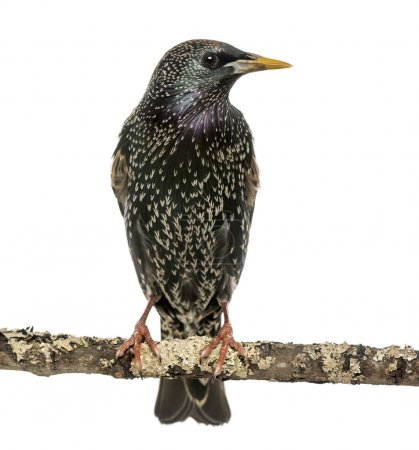 Common Starling perching on a branch, Sturnus vulgaris, isolated